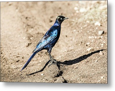 Ruppell's Glossy-starling Metal Print by Photostock-israel