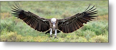 Ruppells Griffon Vulture Gyps Metal Print by Panoramic Images