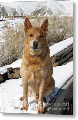 Rusty - Red Heeler Metal Print