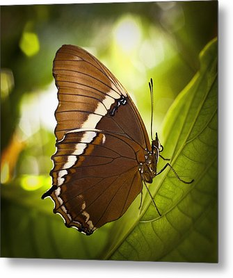 Metal Print featuring the photograph Rusty Tip Butterfly by Bradley R Youngberg