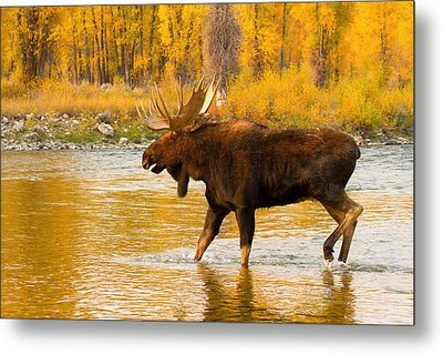Metal Print featuring the photograph Rutting Bull by Aaron Whittemore