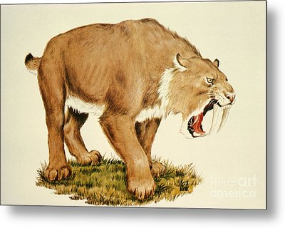 Sabretooth Cat Metal Print by Tom McHugh