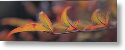 Sacred Bamboo- Autumn Leaves Nandina Metal Print by Panoramic Images