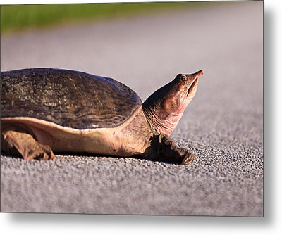 Sad Turtle Metal Print by Jonathan Gewirtz