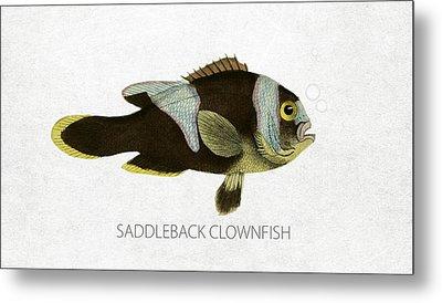 Saddleback Clownfish Metal Print by Aged Pixel