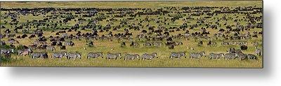 Safari Animals Migration, Serengeti Metal Print by Panoramic Images