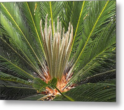 Sago Palm In Bloom Metal Print by Rebecca Cearley