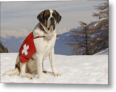 Saint Bernard Rescue Dog Metal Print by Jean-Michel Labat