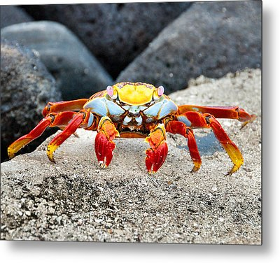 Sally Lightfoot Crab Metal Print by William Beuther