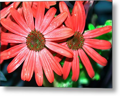 Salmon Daisy Metal Print by Aimee L Maher Photography and Art Visit ALMGallerydotcom