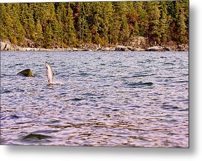Salmon Jumping In The Ocean Metal Print by Peggy Collins