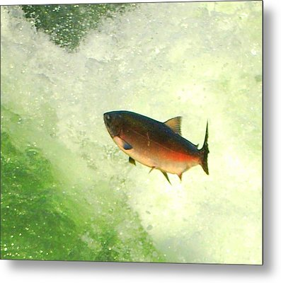 Salmon Run 1 Metal Print by Mamie Gunning