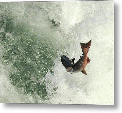 Salmon Run 2 Metal Print by Mamie Gunning