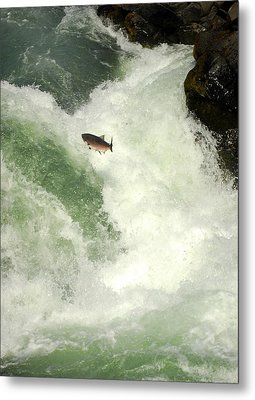 Salmon Run 5 Metal Print by Mamie Gunning