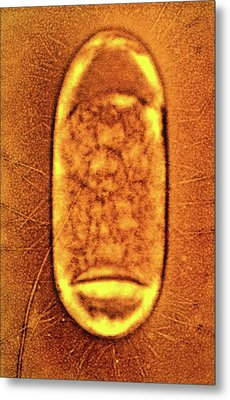 Salmonella Typhimurium Bacterium Metal Print by Peter Cooke, Lenier Tucker/us Department Of Agriculture