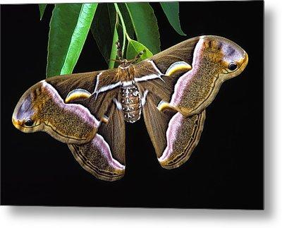 Samia Cynthia Silk Moth Metal Print by Robert Jensen