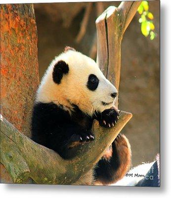 San Diego Zoo Panda Bear Xiao Liwu Metal Print