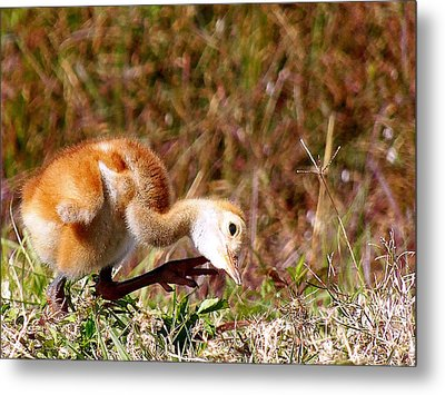 Metal Print featuring the photograph Sand-hill Chick Scratching  by Chris Mercer