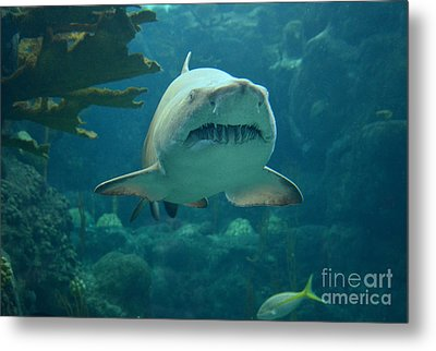 Metal Print featuring the photograph Sand Shark by Robert Meanor