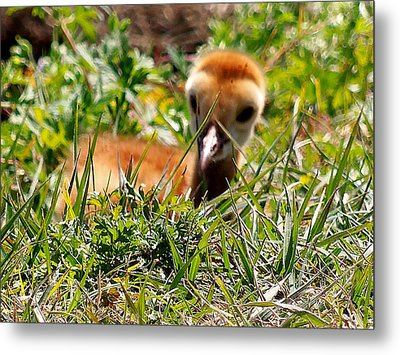 Metal Print featuring the photograph Sandhill Chick 005 by Chris Mercer