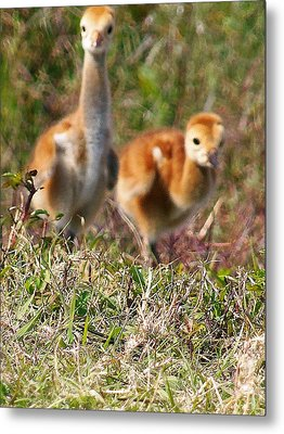 Metal Print featuring the photograph Sandhill Chicks by Chris Mercer