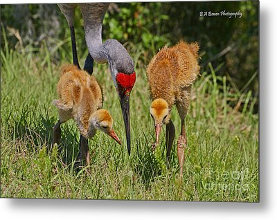 Sandhill Crane Family Feeding Metal Print by Barbara Bowen