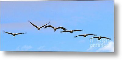 Sandhill Crane Flight Pattern Metal Print by Mike Dawson