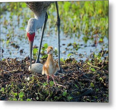 Sandhill Crane Inspecting Second Egg Metal Print by Maresa Pryor