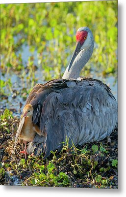 Sandhill Crane On Nest With One Day Old Metal Print by Maresa Pryor