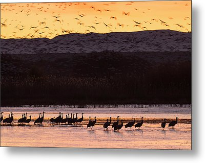 Sandhill Cranes And Other Waterfowl Metal Print by Maresa Pryor