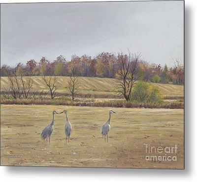 Sandhill Cranes Feeding In Field  Metal Print by Jymme Golden