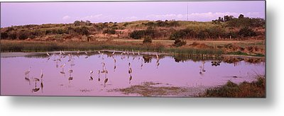 Sandhill Cranes Grus Canadensis Metal Print by Panoramic Images