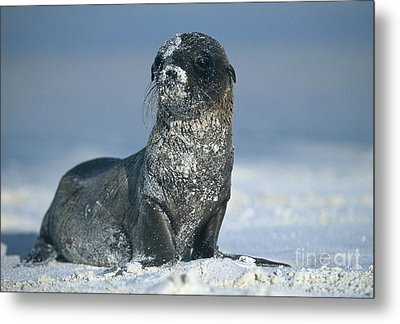 Metal Print featuring the photograph Sandy Sea Lion by Chris Scroggins