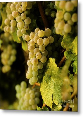Sauvignon Blanc Cluster Metal Print by Craig Lovell