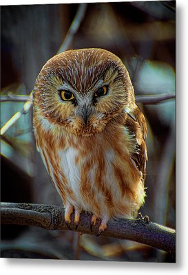 Metal Print featuring the photograph Saw-whet Owl by Britt Runyon