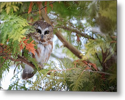 Saw-whet Owl Metal Print by Everet Regal