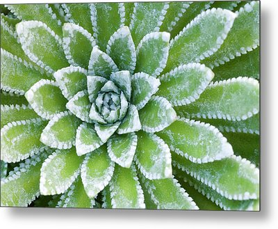 Saxifraga 'esther' Leaves Abstract Metal Print by Nigel Downer