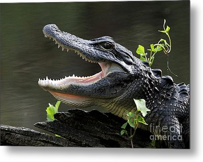 Say Aah - American Alligator Metal Print
