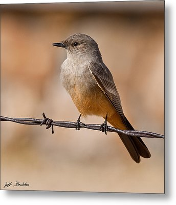 Say's Phoebe On A Barbed Wire Metal Print