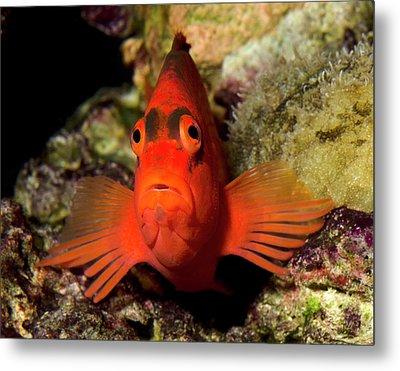 Scarlet Hawkfish Or Flame Hawkfish Metal Print
