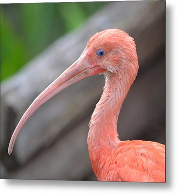 Scarlet Ibis 1 Metal Print by Richard Bryce and Family