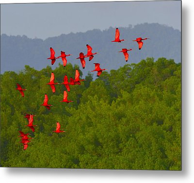 Scarlet Ibis Metal Print by Tony Beck