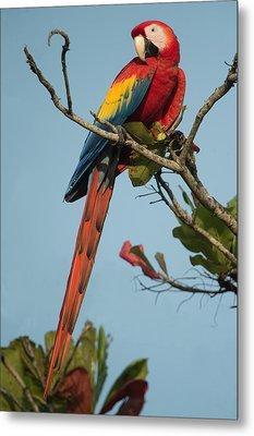 Scarlet Macaw Ara Macao, Tarcoles Metal Print by Panoramic Images