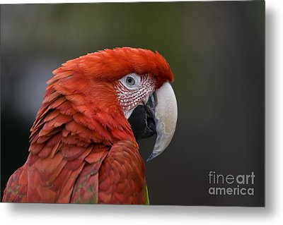 Metal Print featuring the photograph Scarlet Macaw by David Millenheft