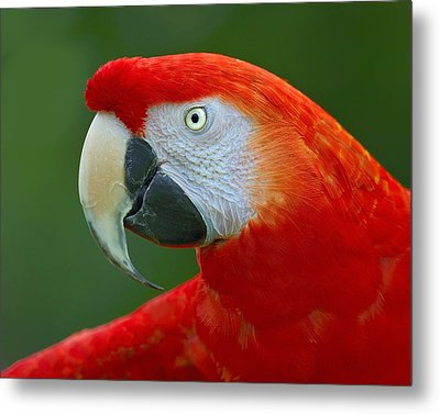 Scarlet Macaw Metal Print by Tony Beck