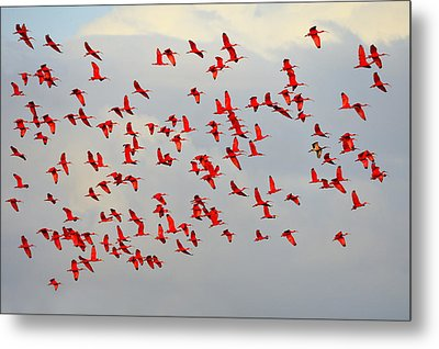 Scarlet Sky Metal Print by Tony Beck