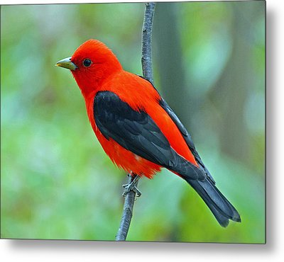 Scarlet Tanager Metal Print by Rodney Campbell