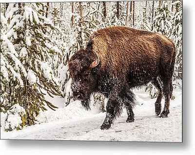Scary Bison Metal Print