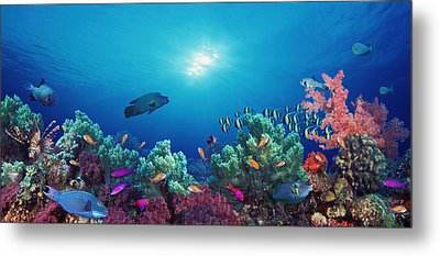 School Of Fish Swimming Near A Reef Metal Print by Panoramic Images