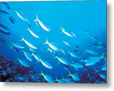 School Of Fish, Underwater Metal Print by Panoramic Images